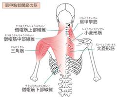 肩甲胸部関節の筋